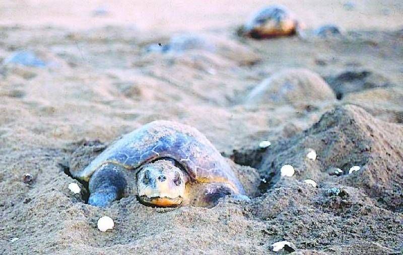 Endangered Olive Ridley Turtles-a Rare Sight
