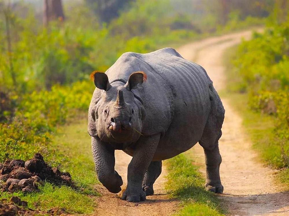 One Horned Rhino Kaziranga