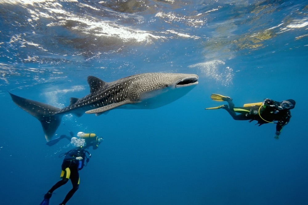 Whale Shark Watching Maldives