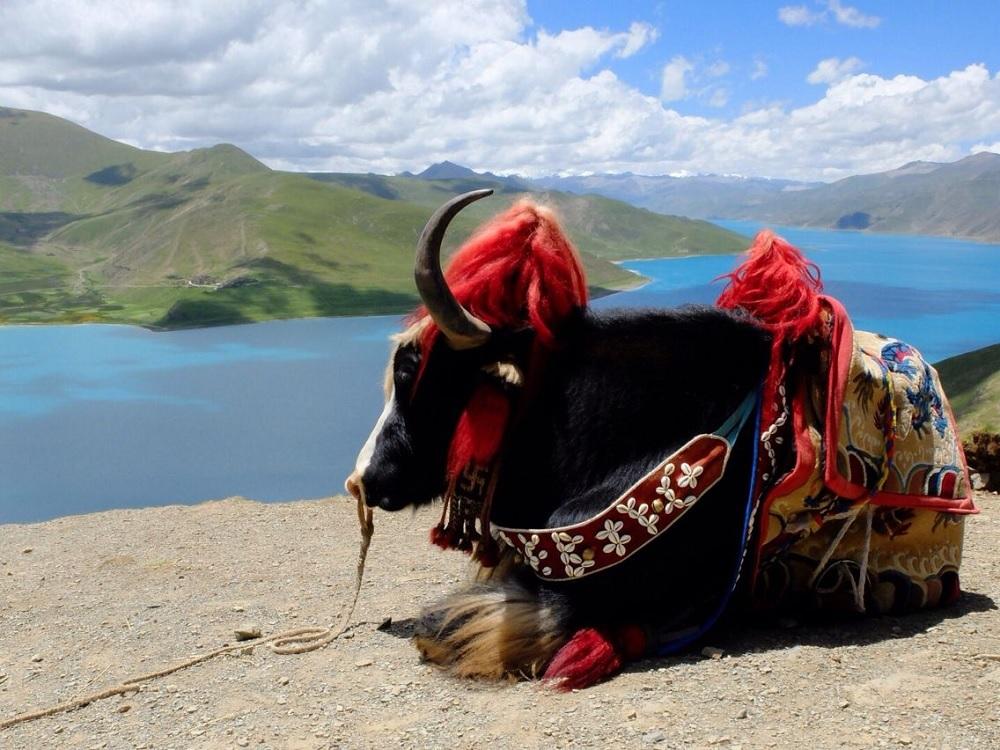 Yak Ride Tibet