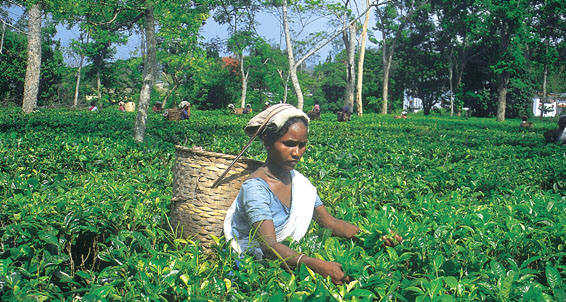 Plucking of Tea
